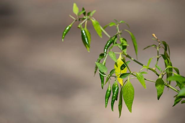 Closeup of chilli in garden.