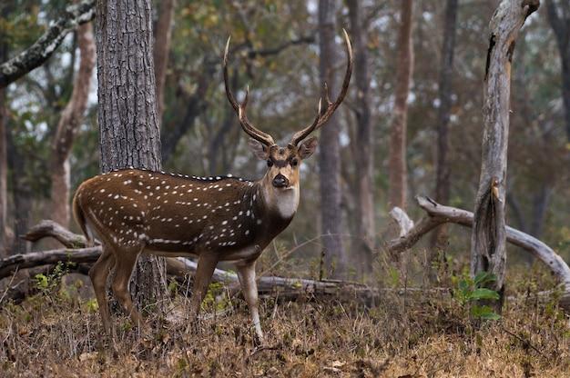 Closeup of chital in mudumalai national park in india