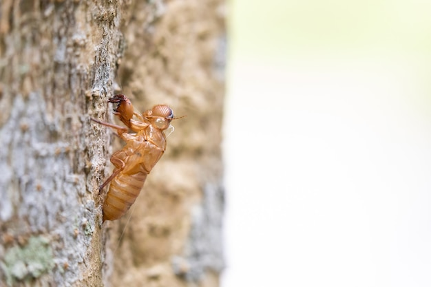 Closeup cicada stains on big tree in garden