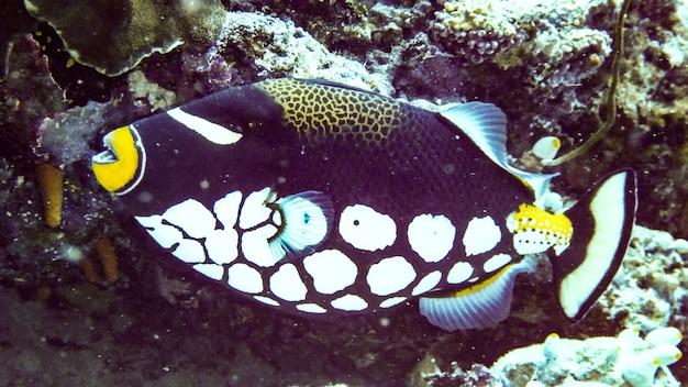 Closeup clown trigger fish (balistoides conspisillum), maldives.
