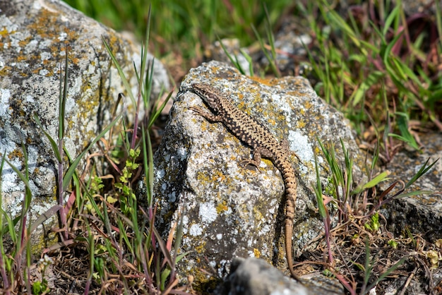 Closeup of the colorful exotic lizard on the rock covered in lichen in the wild