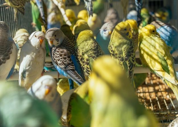 Primo piano dei pappagallini graziosi colorati in una gabbia