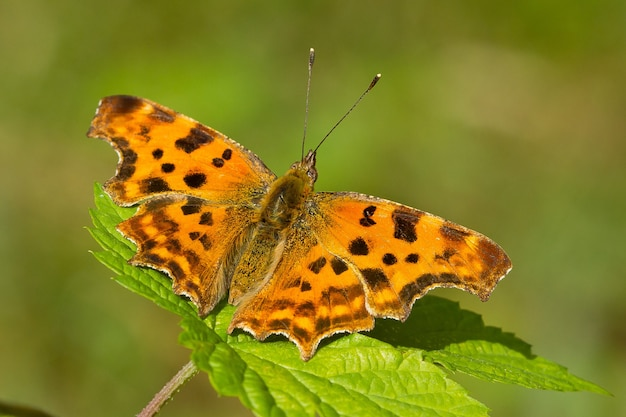 Closeup of a commas butterfly on the plant
