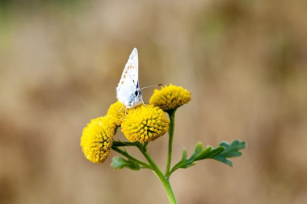 Closeup of a common blue butterfly on craspedia under the sunlight