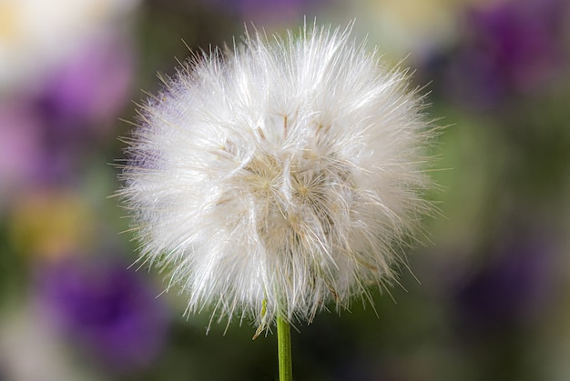 Closeup  of a common dandelion under the sunlight Free Photo