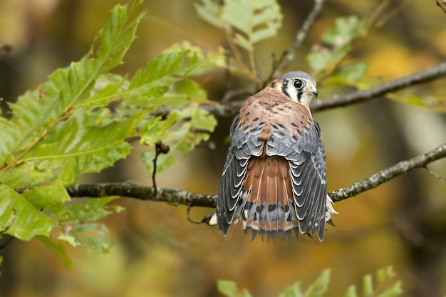 Closeup of a common kestrel standing on a tree branch under the sunlight with a blurry background