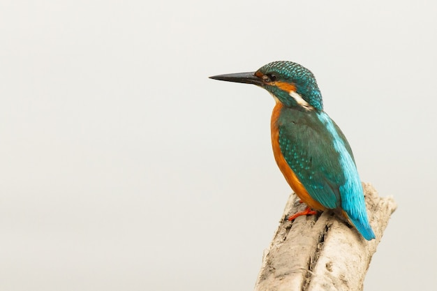 Closeup of a common kingfisher, alcedo atthis, donana national park, bird on the trunk