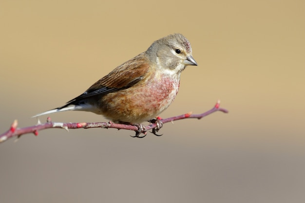 Closeup of a common linnet standing on a branch under the sunlight with a blurry background