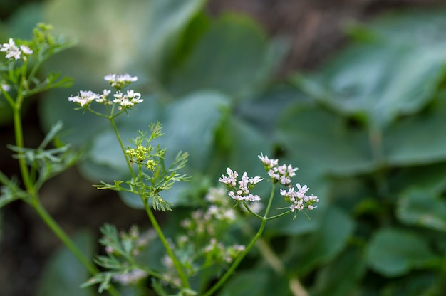 Closeup of coriander flowers on the plant in a farm field