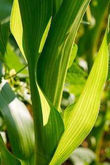 Closeup of corn leaves