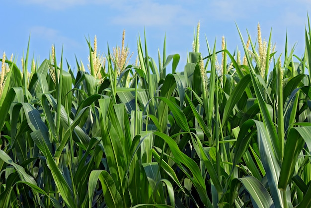 Closeup of corn plants with tassel