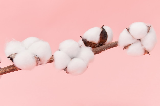 Closeup  of cotton flowers on its branch isolated on pink wall