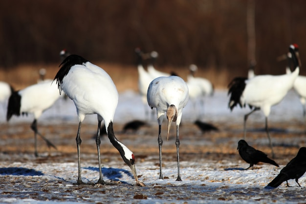 Closeup of cranes eating dead fish on the ground covered in the snow in hokkaido in japan