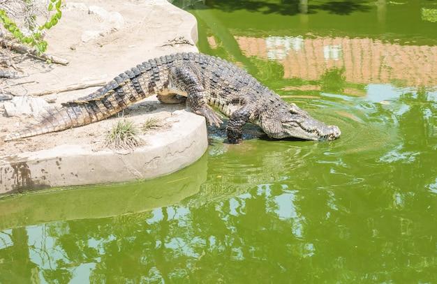Closeup crocodile in alligator pond background