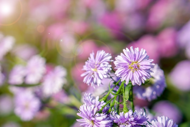 Closeup and crop aster flowers in a public park garden with natural sun light on blurry background.
