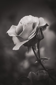 Closeup of a cultivated rose in black and white