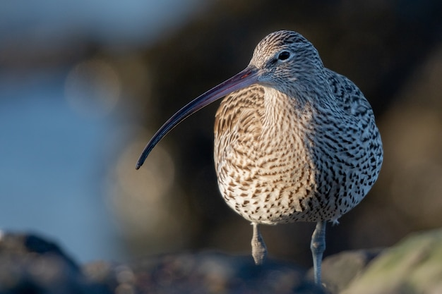 Closeup of a curlew bird with its long, slender beak