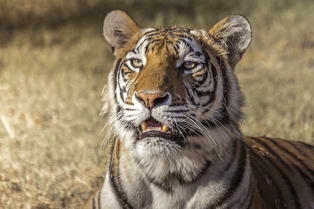 Closeup of a cute bengal tiger