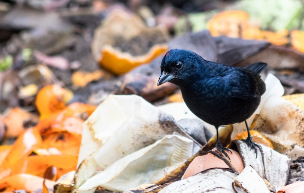 Closeup of a cute black ruby-crowned tanager standing on the ground in a forest