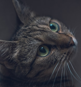 Closeup of a cute domestic grey cat looking up with beautiful big eyes