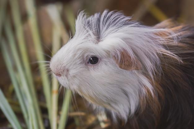Closeup  cute guinea pig head in the lawn.