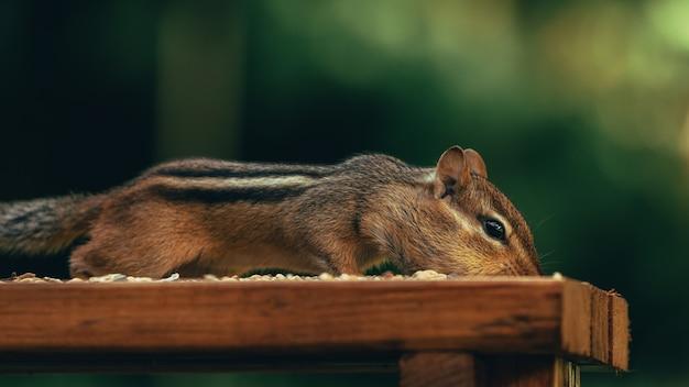 Primo piano di un simpatico scoiattolo che mangia noci su una superficie di legno in un campo