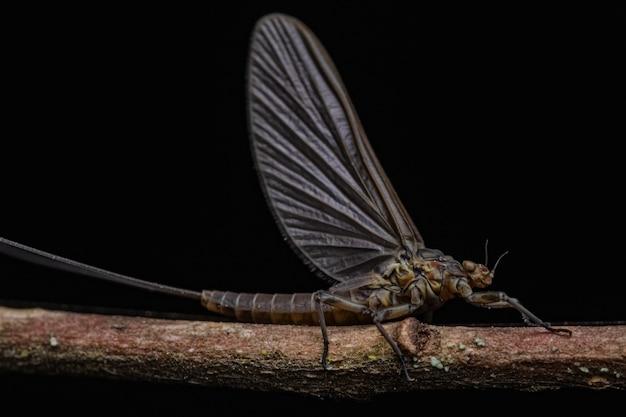 Closeup of a cute mayfly on a twig