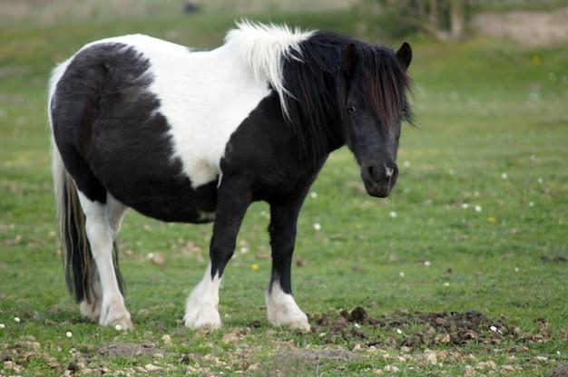 Closeup of a cute shetland pony in a field