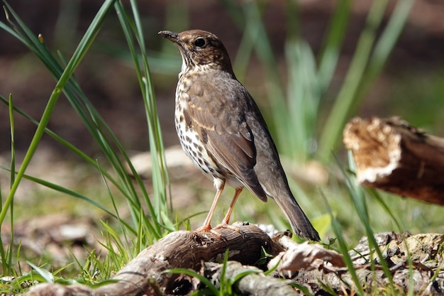 Closeup of a cute song thrush bird from behind standing on a branch on the ground in a forest