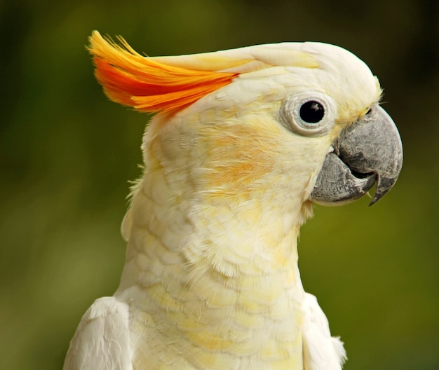 Closeup of a cute sulphur-crested cockatoo