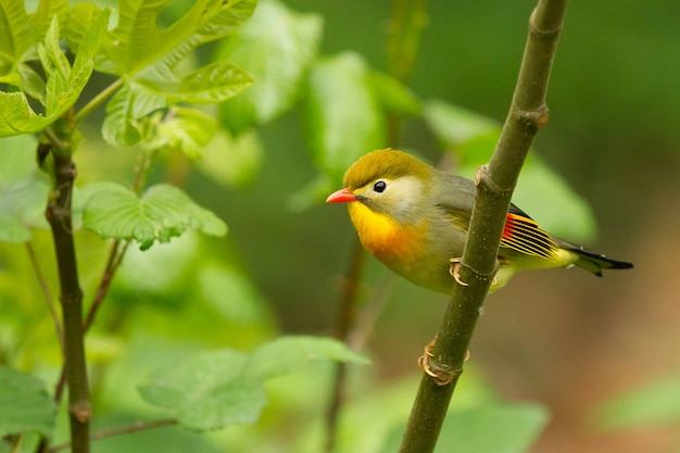 Closeup of a cute tiny red-billed leiothrix perched on a tree branch in a field under the sunlight