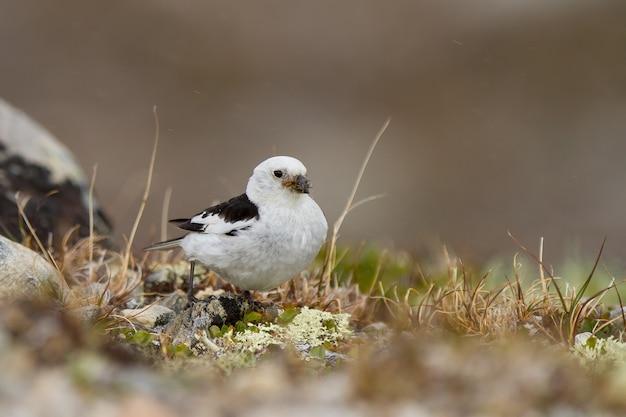 Primo piano di un grazioso minuscolo zigolo delle nevi a terra nel parco nazionale dovrefjell – sunndalsfjella