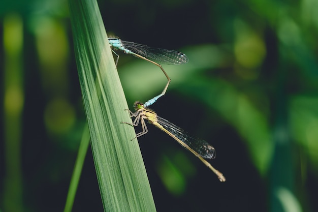 Closeup of a damselfly on a long grass in a park with a blurry background