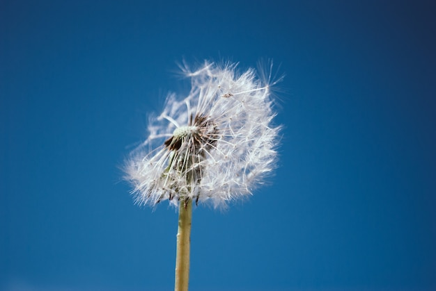 Closeup of dandelion on natural blue background