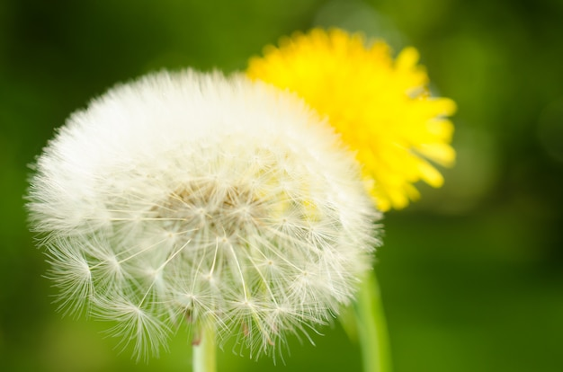 Closeup of a dandelion with seeds.
