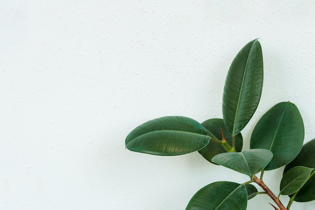 Closeup dark green leaves fig tree plant ficus species the tropical rainforest tree with copy space
