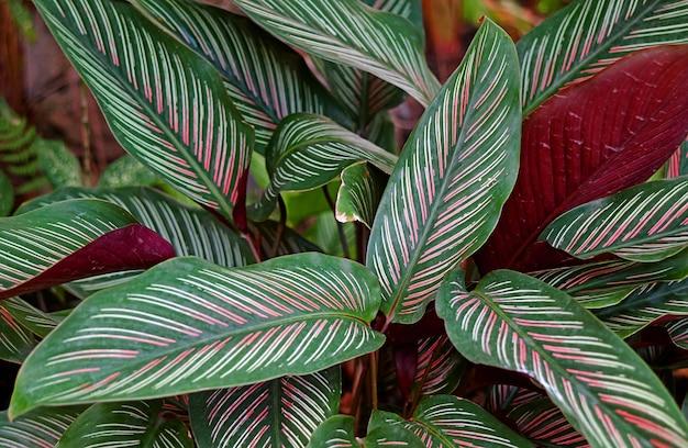 クローズアップダークグリーンと白とピンクのストライプの葉カラテアサンデリアナまたはピンストライプカラテア