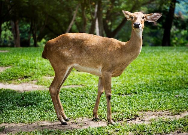 Closeup of deer at the zoo