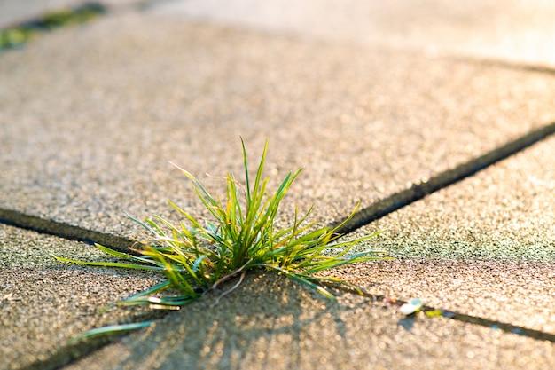 夏の庭のコンクリート舗装レンガ間で成長する緑の雑草植物のクローズアップの詳細。