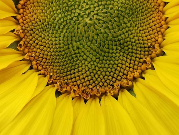Closeup detail of a sunflower