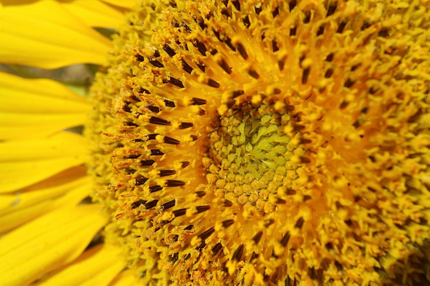Closeup details and texture of sunflower's disc florets