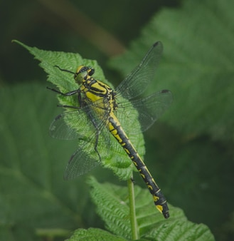 Primo piano di una libellula su una foglia verde