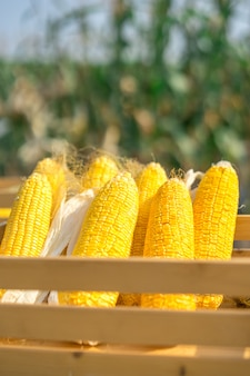 Closeup of an ear of yellow dry corn, with the kernels still attached to the cob.