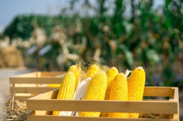 Closeup of an ear of yellow dry corn