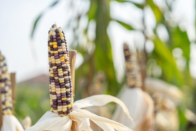 Closeup of ears of mature indian corn