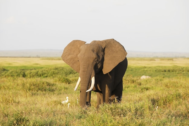 Closeup of an elephant walking on the savanna of amboseli national park, kenya, africa