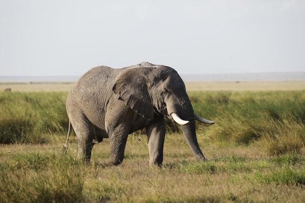 Primo piano di un elefante che cammina sulla savana del parco nazionale di amboseli, kenya, africa