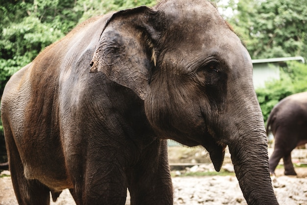 Closeup of elephant at the zoo