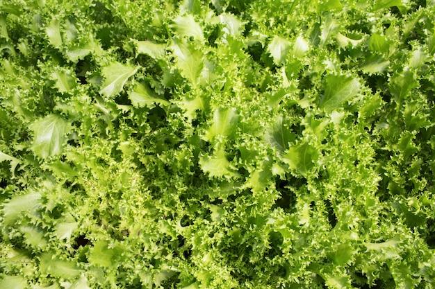 Closeup of endive plants in garden