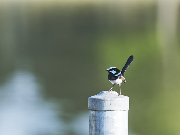 Closeup of a eurasian magpie on a column in a garden under sunlight with a blurry